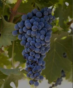 best cabernet sauvignon in australia - SA wines